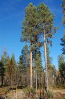 Whole tree