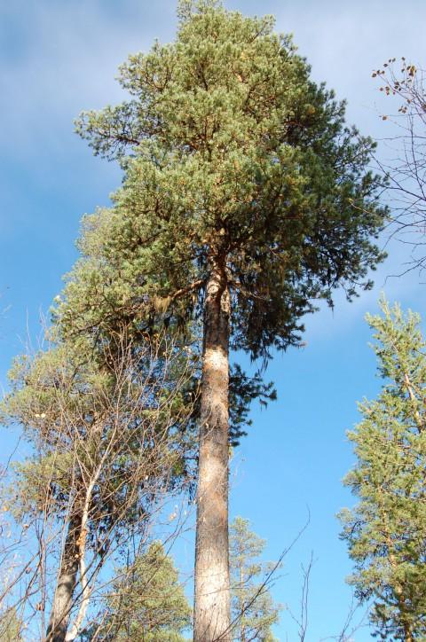 Tree #007
