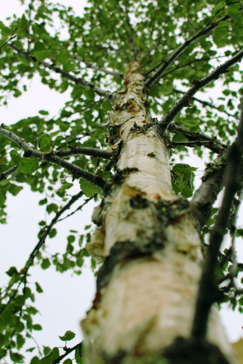 Young Birch-tree