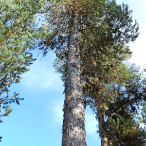 Tree #005-2823