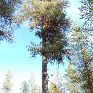 Tree #006-0
