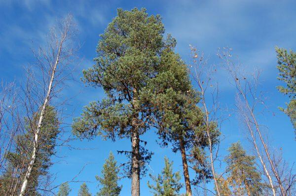 Tree #011-2896