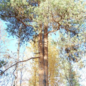 Tree #012-0