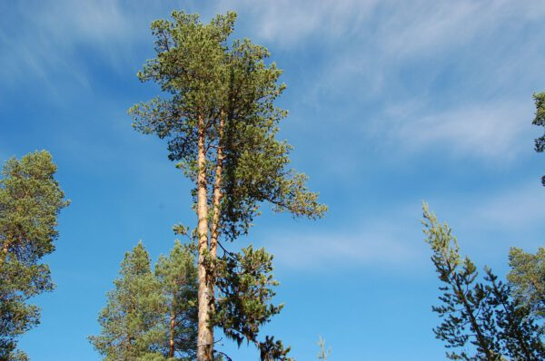 Tree #014-2918