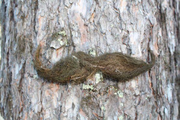 Moss mustache-3033
