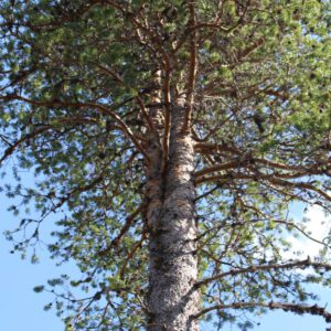 Tree #030-3067