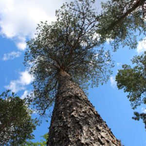 Tree #031-0