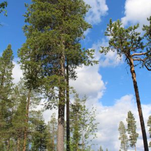 Tree #033-0