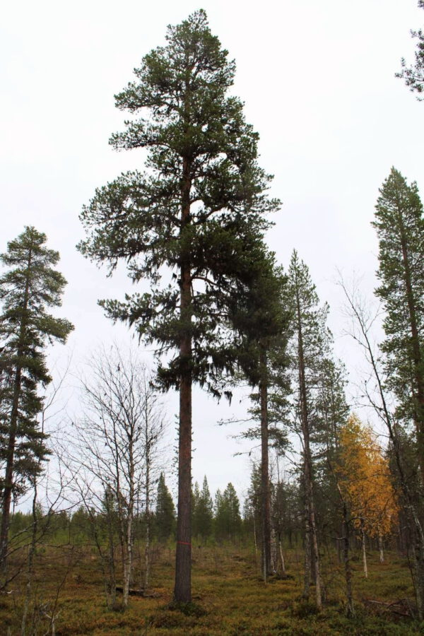 Tree #035-3117