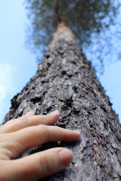 Touching pine bark