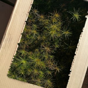 Baby pine trees in a box