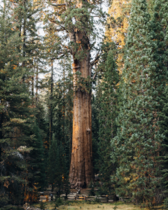Giant  Sequoia by Brian Kelley2
