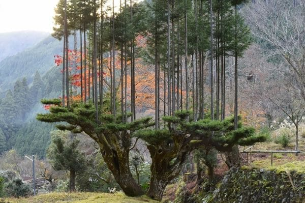 sustainable-japanese-forestry-daisugi-1-5f213113309c5__700